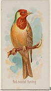 Red-headed Bunting, from the Song Birds of the World series (N23) for Allen & Ginter Cigarettes