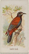 Saddle-back, from the Song Birds of the World series (N23) for Allen & Ginter Cigarettes