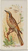 Singing Honey-eater, from the Song Birds of the World series (N23) for Allen & Ginter Cigarettes
