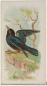 Whistling Thrush, from the Song Birds of the World series (N23) for Allen & Ginter Cigarettes