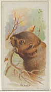 Beaver, from the Wild Animals of the World series (N25) for Allen & Ginter Cigarettes