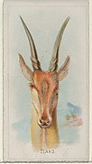 Eland, from the Wild Animals of the World series (N25) for Allen & Ginter Cigarettes