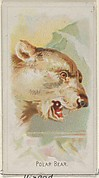 Polar Bear, from the Wild Animals of the World series (N25) for Allen & Ginter Cigarettes