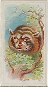 Raccoon, from the Wild Animals of the World series (N25) for Allen & Ginter Cigarettes