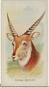 Senegal Antelope, from the Wild Animals of the World series (N25) for Allen & Ginter Cigarettes