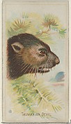 Tasmanian Devil, from the Wild Animals of the World series (N25) for Allen & Ginter Cigarettes