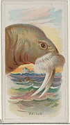 Walrus, from the Wild Animals of the World series (N25) for Allen & Ginter Cigarettes