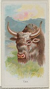 Yak, from the Wild Animals of the World series (N25) for Allen & Ginter Cigarettes