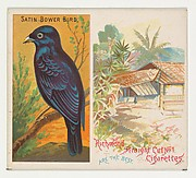 Satin Bower Bird, from Birds of the Tropics series (N38) for Allen & Ginter Cigarettes