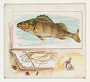 Yellow Perch, from Fish from American Waters series (N39) for Allen & Ginter Cigarettes
