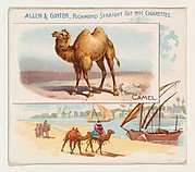 Camel, from Quadrupeds series (N41) for Allen & Ginter Cigarettes
