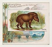 Tapir, from Quadrupeds series (N41) for Allen & Ginter Cigarettes