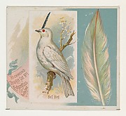 Bell Bird, from the Song Birds of the World series (N42) for Allen & Ginter Cigarettes