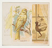 Canary Bird, from the Song Birds of the World series (N42) for Allen & Ginter Cigarettes