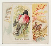 Rose-breasted Grosbeak, from the Song Birds of the World series (N42) for Allen & Ginter Cigarettes