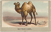 Bactrian Camel, from the Animals of the World series (T180), issued by Abdul Cigarettes