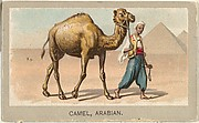 Arabian Camel, from the Animals of the World series (T180), issued by Abdul Cigarettes