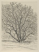 Giant Sycamore
