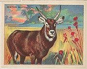 Water Buck, collector card from the Animals series (D9), issued by the Weber Baking Company to promote Onist Milk and Pullman Bread
