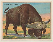 Cape Buffalo, collector card from the Animals series (D9), issued by the Weber Baking Company to promote Onist Milk and Pullman Bread