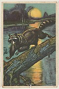 Raccoon, collector card from the Animal's Pictures series (D12), issued by Roulstons Bread