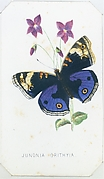 Junionia Orithyia from The Butterflies and Moths of America Part 1