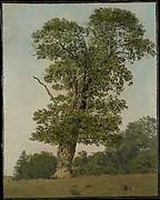 A Large Oak