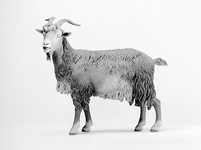 Standing female goat