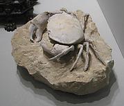 Crab Fossil (hapractocaunus punctatus) from Monte Boldo, Italy