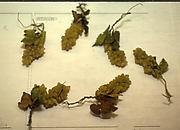 Six grape clusters