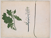 A Radish Plant, Seed and Flower