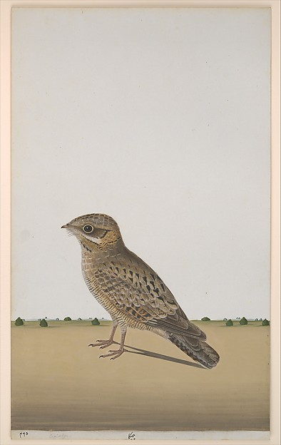 A Common Indian Nightjar (<Caprimulgus asiaticus>)