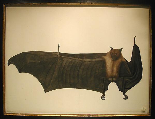 Great Indian Fruit Bat