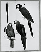 Red Bellied Macaw and Yellow Naped Macaws