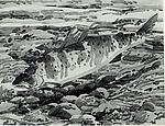 Study for print of Salmon
