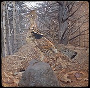 Male Ruffed Grouse in the Forest