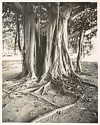 Banyan Tree, Florida