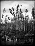 [Cypresses in Swamp, Florida]