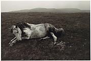 Horse Lying in a Field
