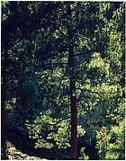 Ponderosa Pine, New Mexico