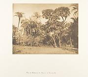 Bois de Dattiers et de Doums, à Hamarneh