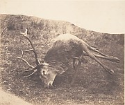 [Stag Shot by Mrs. Ross]