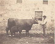 [Prize Cow and Calf]