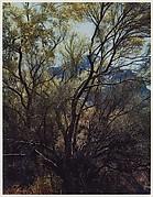 Paloverde Trunks, Tucson Mountain Park, Arizona