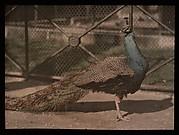 [Peacock]