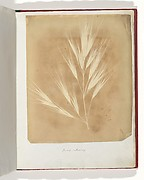 Bromus Maximus, Genoa