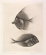 Zanclus cornutus /  Acanthurus nigros