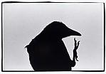 Ravens, Erimo Cape, Japan