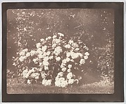A Bush of Hydrangea in Flower