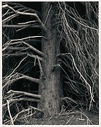 Tree, Point Arena, California